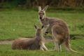 Kangoeroe Gemalen 1 kg