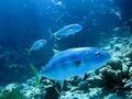 Makreel 500 Gram