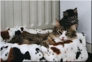 Dracht, Geboorte & Kitten Periode